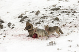 Two Coyotes, Canis Latrans, Feed on a Live Bighorn Sheep, Ovis Canadensis, That They Took Down Photographic Print by Robbie George