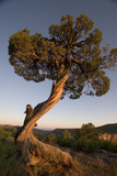 A Twisted Juniper Tree in Early Light Along the South Rim of Black Canyon, Gunnison National Park Photographic Print by Phil Schermeister