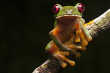 Portrait of a Gliding Tree Frog, Agalychnis Spurrelli Photographic Print by Robin Moore
