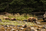 A Grizzly Bear Family Foraging Among Rocks at Low Tide Photographic Print by Cesare Naldi