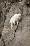A Young Mountain Goat, Oreamnos Americanus, Moving Along a Rocky Ledge Photographic Print by Robbie George