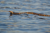 A Cottonmouth Swims across the Saint Johns River Between Lake Winder and Lake Poinsett Photographic Print by Carlton Ward