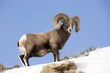 Portrait of a Bighorn Sheep, Ovis Canadensis, in a Snowy Landscape Photographic Print by Robbie George