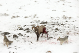 Two Coyotes, Canis Latrans, Work Together to Take Down a Bighorn Sheep, Ovis Canadensis Photographic Print by Robbie George
