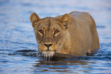 A Lioness Wading Through a Spillway Photographic Print by Beverly Joubert