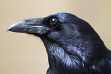 Close Up Portrait of a Common Raven, Corvus Corax Papier Photo par Marc Moritsch