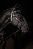 Portrait of a Lusitano Stallion in a Dark Arena Photographic Print by Jak Wonderly