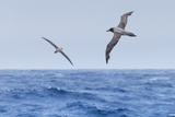 Two Light-Mantled Albatross in Flight in the South Shetland Islands, Antarctica Photographic Print by Ralph Lee Hopkins