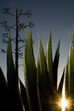 The Setting Sun Bursting Through Leaves of a Centuryplant, Agave Americana Photographic Print by Paul Colangelo