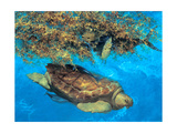Loggerhead and Dolphins in Sargassum Sea, 2000 Giclee Print by Stanley Meltzoff