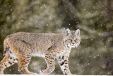 Portrait of a Bobcat, Lynx Rufus, in a Snow Shower Stampa fotografica di Robbie George