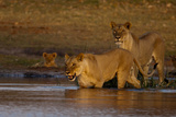 A Lioness Crossing a Spillway as a Cub Watches from the Bank Photographic Print by Beverly Joubert