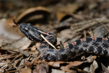 A Pygmy Rattlesnake Coils in the Leaf Litter in Rice Creek Conservation Area Photographic Print by Carlton Ward