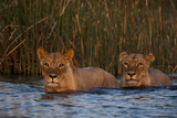 Two Lionesses Crossing a Spillway at Sunset Photographic Print by Beverly Joubert