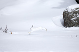 A Snowshoe Hare, Lepus Americanus, Leaps Through a Snowy Landscape Photographic Print by Robbie George