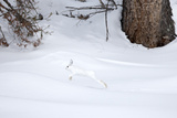 A Snowshoe Hare, Lepus Americanus, Leaping Through a Snowy Landscape Photographic Print by Robbie George