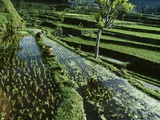 A Rice Field in Tirtagangga Photographic Print by Macduff Everton