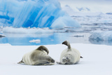 Two Crabeater Seals Lying on an Ice Floe in Grandidier Channel, Antarctica Photographic Print by Ralph Lee Hopkins