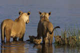 Lionesses Looking across a Spillway While Cubs Swim Between Them Photographic Print by Beverly Joubert