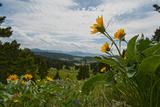 Arrowleaf Balsamroot Flowers Bloom on a Hillside in Montana's Bridger Mountains, Near Bozeman Photographic Print by Gordon Wiltsie
