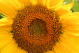 Close Up of a Sunflower Photographic Print by Donna O'Meara
