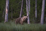 A European Brown Bear, Ursus Arctos Arctos, in Tall Grass Photographic Print by Sergio Pitamitz