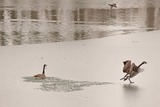Canada Geese on an Icy Pond Photographic Print by Gordon Wiltsie