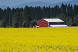 A Red Barn in a Field of Yellow Flowers, Bordered by an Evergreen Forest Fotodruck von Ami Vitale