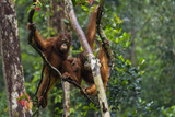 Two Bornean Orangutans, Pongo Pygmaeus, Swinging Through the Tree Tops Photographic Print by Ralph Lee Hopkins