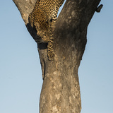 A Female Leopard Climbing Down a Tree Trunk Photographic Print by Bob Smith