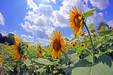 A Field of Sunflowers Photographic Print by Donna O'Meara