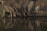 A Herd of Burchell's Zebras Drinking at the Water's Edge Photographic Print by Bob Smith