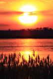 The Sun Rises and Paints the Water, and Silhouettes Invasive Phragmites, Phragmites Australis Photographic Print by Robbie George