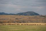 Elk, Cervus Canadensis, Grazing in a Field in the Gallatin Valley Photographic Print by Gordon Wiltsie