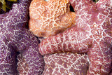 A Group of Purple Sea Stars, Asterias Ochracea Photographic Print by Paul Colangelo
