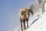 Portrait of a Bighorn Sheep, Ovis Canadensis, Grazing on a Snowy Slope Photographic Print by Robbie George