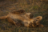 Portrait of a Lion Cub Biting it's Paw as it Rolls in the Grass Photographic Print by Beverly Joubert