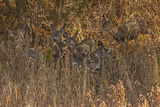 Mule Deer, Odocoileus Hemionus, are Almost Camouflaged as They Watch for Predators Photographic Print by Gordon Wiltsie