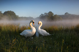 A Pair of Mute Swans, Cygnus Olor, Emerge from the Water on a Misty Morning in Richmond Park Stampa fotografica di Alex Saberi