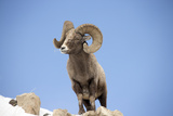 Portrait of a Bighorn Sheep, Ovis Canadensis, in a Snowy Rocky Landscape Photographic Print by Robbie George