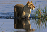 A Lioness Crossing a Spillway Photographic Print by Beverly Joubert
