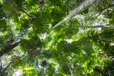Cassowary Habitat in Queensland's Wet Tropics World Heritage Area Photographic Print by Christian Ziegler