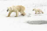 A Polar Bear, Ursus Maritimus, and Her Cub. the Mother Bear Wears a Radio Tracking Collar Photographic Print by Kent Kobersteen