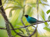 A Green Honeycreeper, Chlorophanes Spiza, Resting on a Branch Photographic Print by Alex Saberi