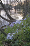 Spring Phlox Along the Potomac River Inside the Beltway on the Maryland Side Photographic Print by Irene Owsley