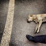 A Dog Lying in the Street in Kolkata Photographic Print by Sean Gallagher