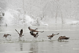 Canada Geese Taking Off from the Potomac River in a Snowy Landscape Photographic Print by Irene Owsley