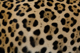 Close Up of the Fur of a Jaguar, Panthera Onca Photographic Print by Steve Winter