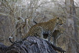 A Leopard and Her Cub Sitting on and Fallen Tree and Looking Around Fotografisk trykk av Beverly Joubert