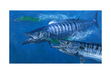 Two Wahoo, 1986: Two of the Fastest Fish in the Sea Close in on Colorful Trolling Lures Giclee Print by Stanley Meltzoff